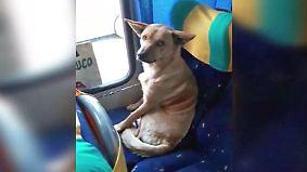 Kaum zu glauben, aber wahr: Schwarzfahrender Hund sitzt artig im Linienbus