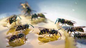 Tiere töten kann 50.000 Euro kosten: Wespen-Sommer wird zur Gefahr für Allergiker