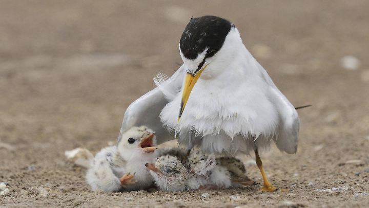 Die Amerikanische Zwergseeschwalbe steht auf der Roten Liste der bedrohten Arten.