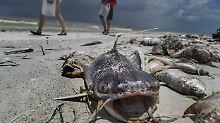 "Massensterben im Meer: ""Rote Flut"" spült den Tod an Floridas Strände"