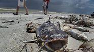 """Tödliche Algen-Plage in Florida: """"Rote Flut"""" überschwemmt Strände mit Kadavern"""