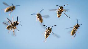 Schädlingsbekämpfer im Dauereinsatz: Wespen sind in diesem Sommer besonders aggressiv