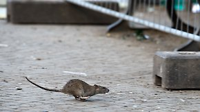 Wenig Wasser in den Kanalisationen: Supersommer zieht Rattenplage nach sich