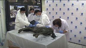 Fell und Organe erhalten: Forscher finden 40.000 Jahre altes Urzeitfohlen