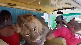 Verkuscheltes Raubtier: Löwe steigt in offenen Touristen-Bus