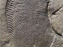 Fundsache, Nr. 1384: Ältestes bekanntes Tier der Erde identifiziert