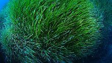 Motorboote schädigen Neptungras: Mallorcas Unterwasser-Wälder bedroht