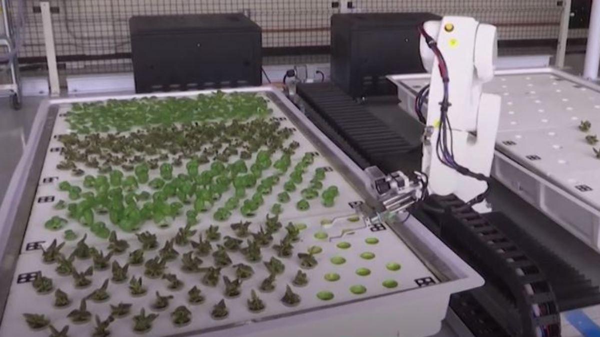 Roboter züchten Salatpflanzen ohne Menschenhand