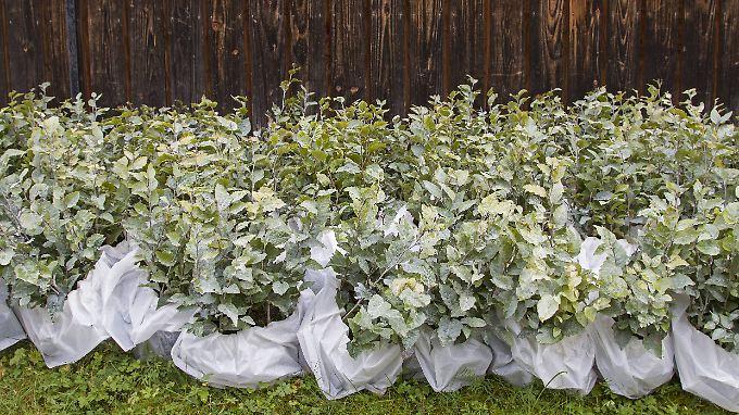 Die Anpflanzung von Bäumen könnte die CO2-Konzentration in der Atmosphäre deutlich verringern.
