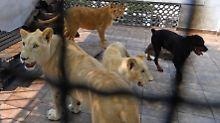 Gefährliche Haustiere: Mexikaner hält Löwen auf Dachterrasse