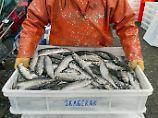 Ein Heringsfischer mit seinem Fang