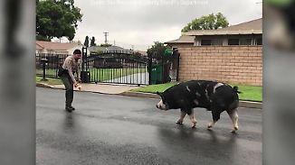Kaum zu glauben, aber wahr: Ausgebüxtes Schwein lässt Polizei kreativ werden
