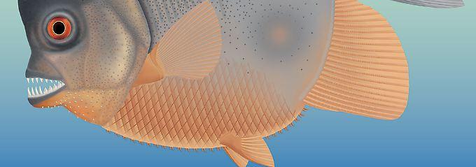 So ähnlich wie Piranhas: Urzeit-Fisch mit Reißzähnen entdeckt