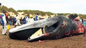 Sensationeller 30-Tonnen-Fund: Forscher zerstückeln riesigen Wal an belgischem Strand