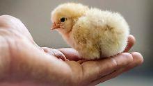 Eier ohne Kükentötung: Handelsriesen gehen beim Tierschutz voran