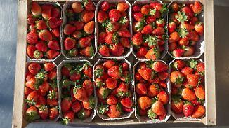 Verkehrte Erntewelt: Erdbeersaison geht in die Verlängerung