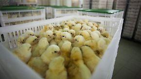 Politik begeistert, Tierschützer skeptisch: Alternative Eier kommen ohne Kükenschreddern aus