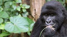 """Neufassung der Roten Liste: Berggorillas sind nur noch """"stark gefährdet"""""""