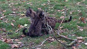 Neues Zuhause im Hunsrück: Putzmuntere Puma-Babys halten Pfleger auf Trab