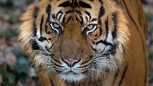 Aufregung auf Sumatra: Seltener Tiger alarmiert Militärs