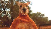 Im Internet ein Star: Australien trauert um berühmtestes Känguru