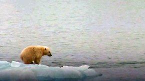 Klimawandel erschwert Jagd: Eisbären verlieren dramatisch an Gewicht