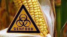 Genmanipulierte Sorten: EU-Staaten bei Maiszulassung tief gespalten