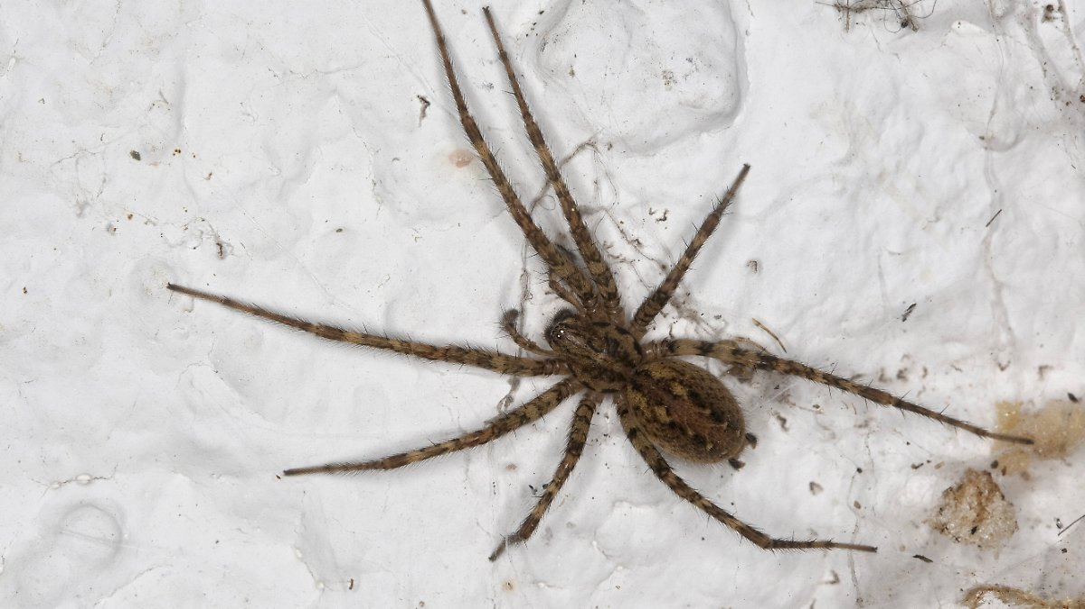 Überleben Spinnen im Staubsauger?