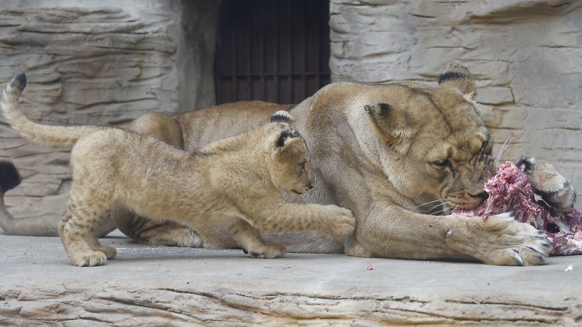 Warum töten Tiere junge Artgenossen?