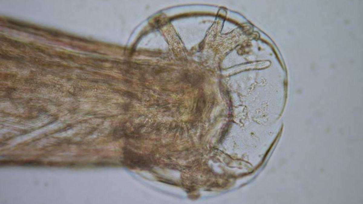 Ratten-Lungenwurm auf Mallorca entdeckt