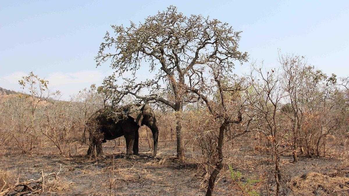 Mehr als hundert Elefanten sterben wegen Dürre in Botswana