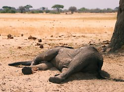 Verzweifelte Rettungsaktion: Simbabwe siedelt massenhaft Elefanten um