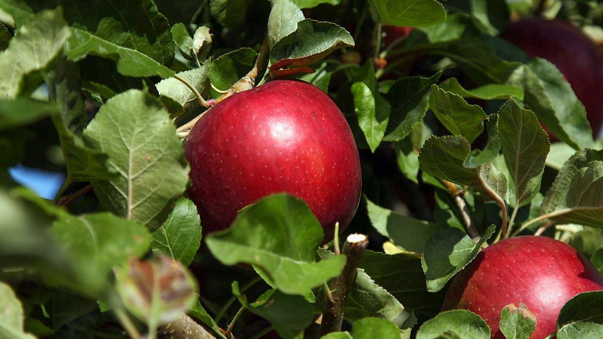 US-Amerikaner feiern neuen Super-Apfel