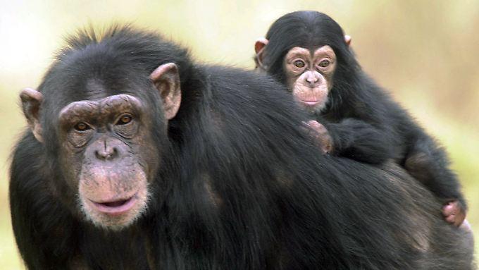 Schimpansen-Weibchen verlieren die Lust am Stöckchen-Spielen, sobald sie Nachwuchs haben.