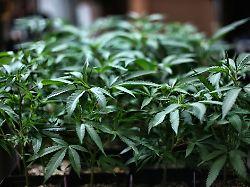 In einigen US Staaten ist der Verkauf von Marihuana bereits legal etwa in Kalifornien - US-Repräsentantenhaus dafür: Ist Marihuana bald in ganz USA legal?