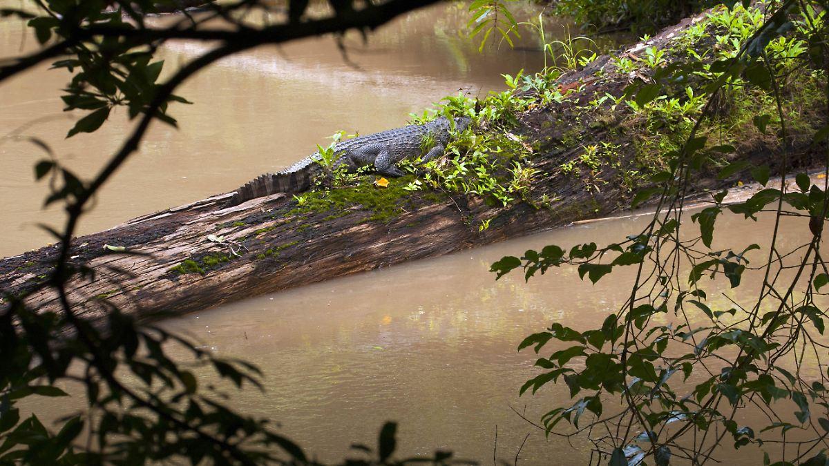 Seltenes Siam-Krokodil tappt in Fotofalle