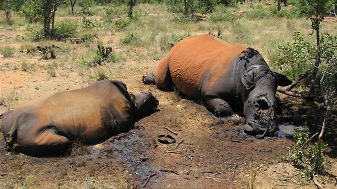 Von Wilderern getötete Nashörner liegen im Distrikt Waterberg, 350 Kilometer nordwestlich von Johannesburg, in der Savanne.