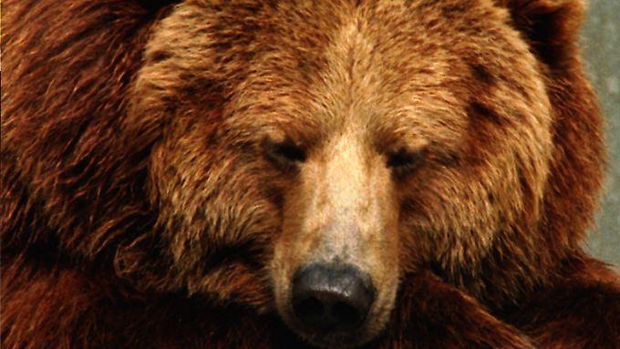 Bären sind oft müde.