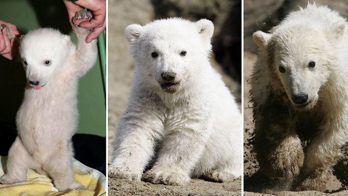 Das Leben eines Eisbärs: Knut wurde vier Jahre alt.