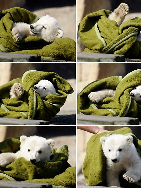 Mit solchen Bildern eroberte der Eisbär die Herzen der Menschen weltweit.