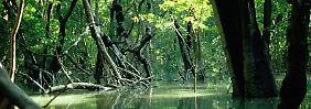 Die Aufnahme zeigt einen Mangrovenwald an der Flußmündung des Daintree-Rivers in Queensland von Australien