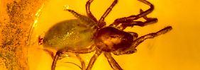 Vor 44 Millionen Jahren: Larve frisst Spinne