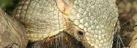 Gürteltiere leben in Süd- und Mittelamerika sowie den Südstaaten der USA.
