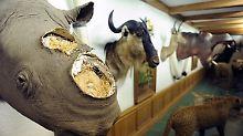 Nashorn-Horn in Tasche versteckt: Polizei fasst mutmaßlichen Schmuggler