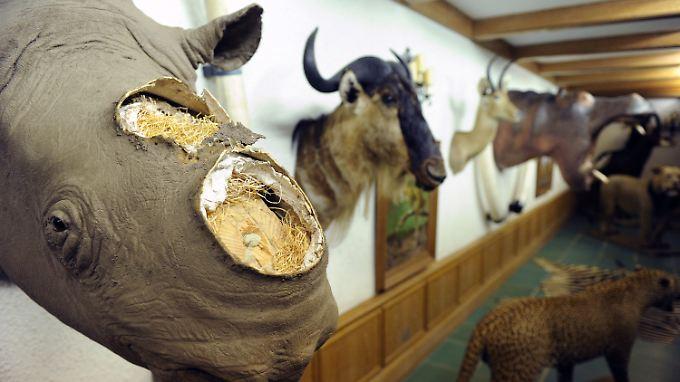 Teurer als Gold: Nashorn-Horn ist besonders in Vietnam und China beliebt.