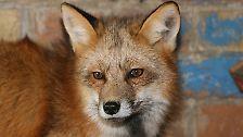 Listig, schlau und schön: Füchse in der Stadt