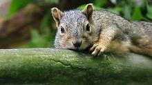 Die Grauhörnchen wurden von Menschen von Amerika nach Europa gebracht. Nun verdrängen sie die roten Eichhörnchen.