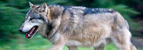 Weil die Wölfe im Yellowstone-Nationalpark zum Abschuss freigegeben waren, kam es zu einer Überweidung durch Elche.