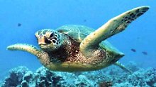 Wendig im Wasser: Meeresschildkröten.