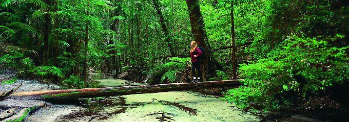 Kein Abbild der Sahara: Auf Fraser Island, der größten Sandinsel der Welt, erwartet ein grüner Mix aus Eukalyptus- und Regenwald die Besucher.